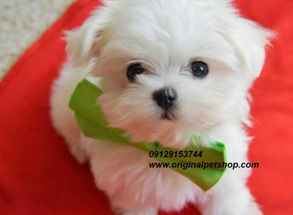 فروش سگ جیبی