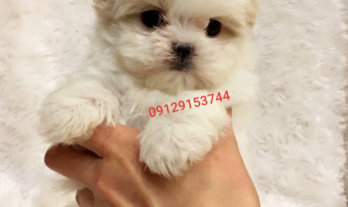 فروش سگ شیتزو مالتیز