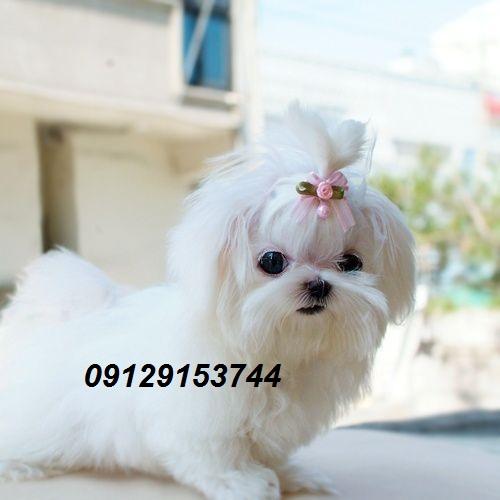 اورجینال پت شاپ بزرگترین مرکز فروش سگ های جیبی و اپارتمانی  برای اطلاع بیشتر و بازدید با ما در ارتباط  باشید 09129153744-----09108867055